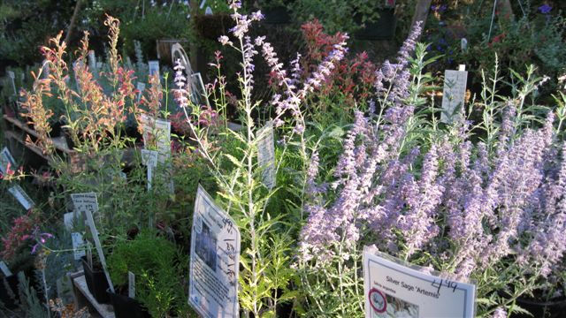 Russian Sage and Agastache
