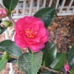 Fall Camellia