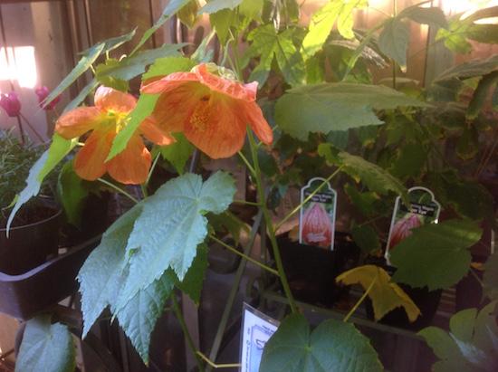 abutilon-hybrids-flowering-maple