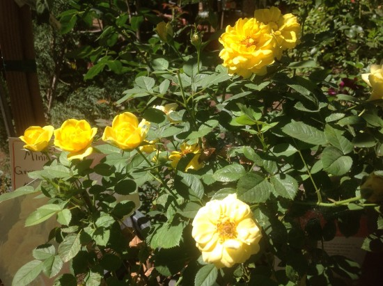 Roses-at-Star-Gardens