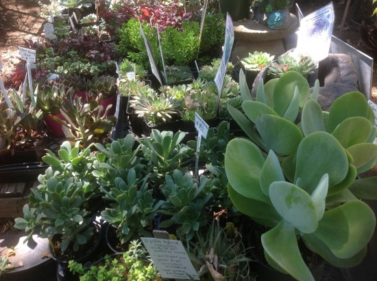 Succulents-at-star-gardens