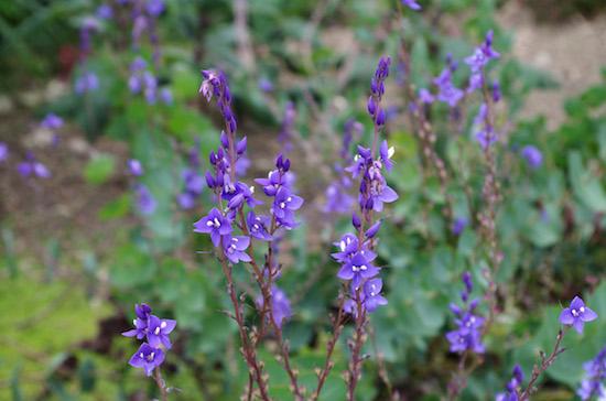 Veronica_perfoliata-flower