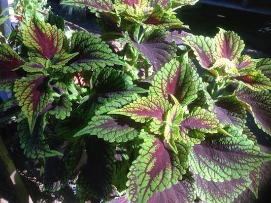 green-purple-plant