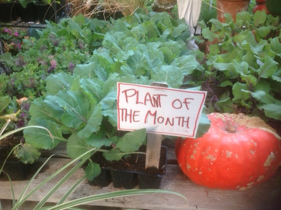 Plant-of-the-Month-Ornamental-Kale-and-Cabbage